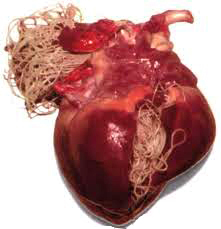 Heartworm Heart