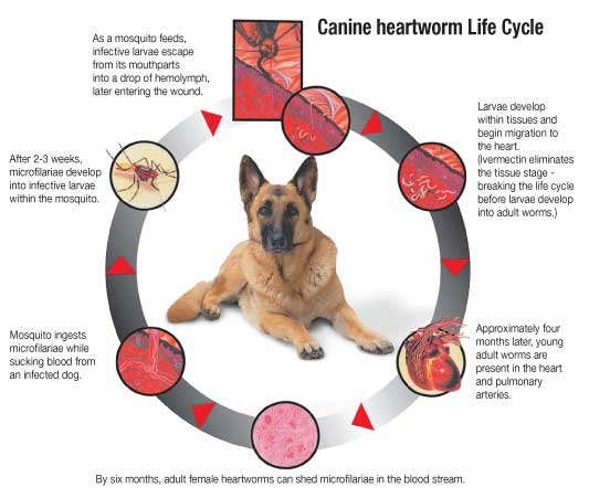 Heartworm Prevention For Dogs And Cats Heartgard